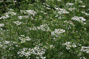 Field of white cilantro flowers