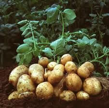 Garden potatoes on the vine